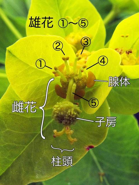 #10 ノウルシの杯状花序の詳細ー2(雌花、雄花、腺体、子房、柱頭)