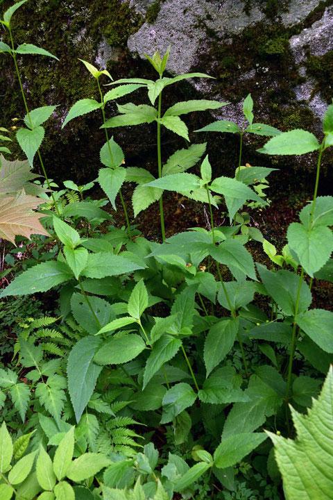 イナサツキヒナノウスツボ (伊那五月雛の臼壺) ゴマノハグサ科 サツキヒナノウスツボ属