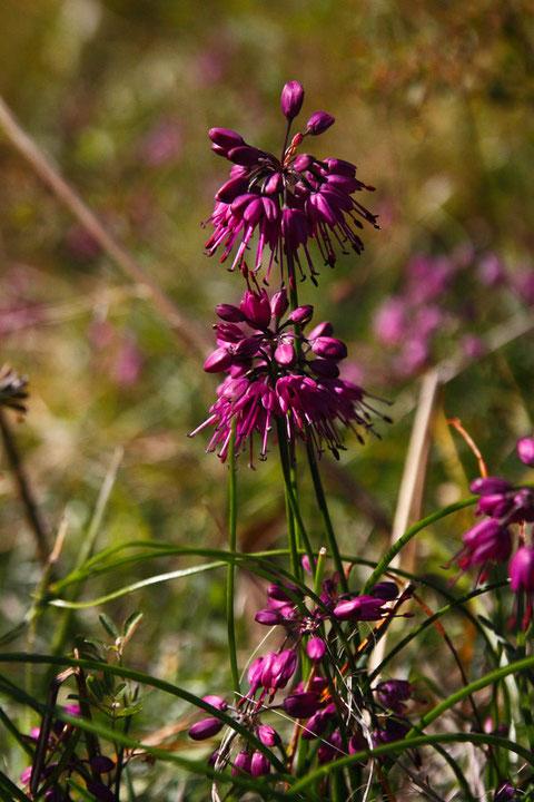 キイイトラッキョウの花は斜め下向きに咲きます。雄しべは花冠よりずっと長く、突き出します