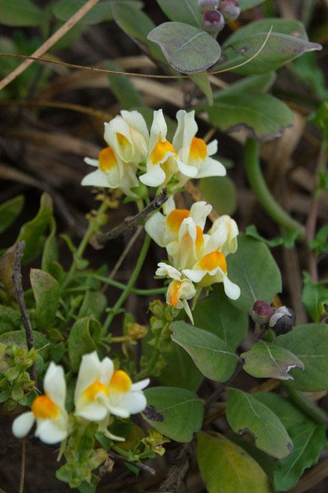 ウンラン (海蘭) オオバコ科 ウンラン属  ラン科の植物ではありません