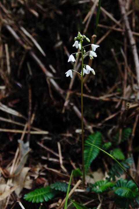 オサバグサ (筬葉草) ケシ科 オサバグサ属  オサバグサ属は本種のみ