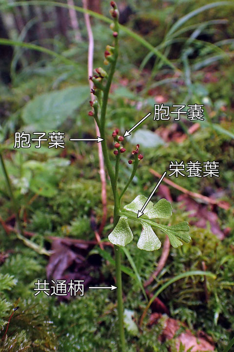 ヒメハナワラビ (姫花蕨) ハナヤスリ科 ハナワラビ属(シダ植物) 絶滅危惧Ⅱ類