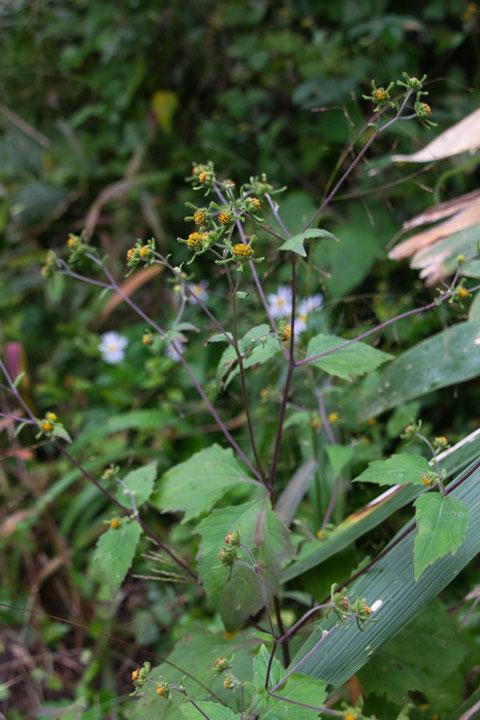 コメナモミ (小雌菜揉) キク科 メナモミ属  葉身は卵状三角形