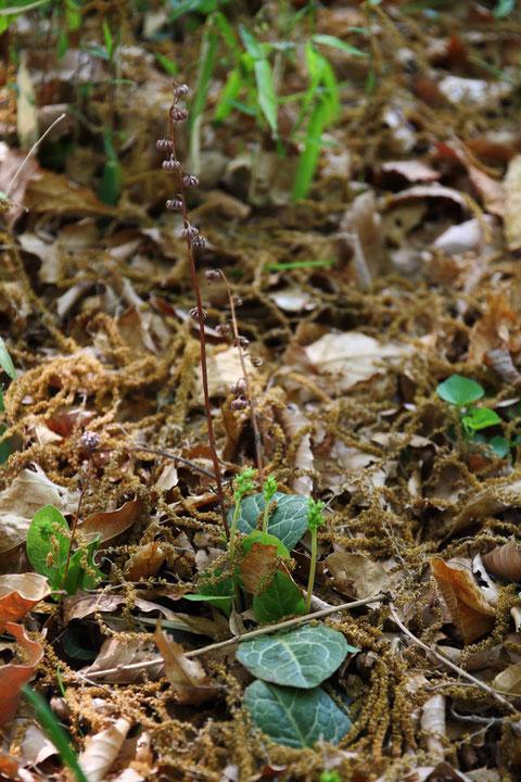 イチヤクソウ 去年の花柄が残り、若い花茎が顔を出している。