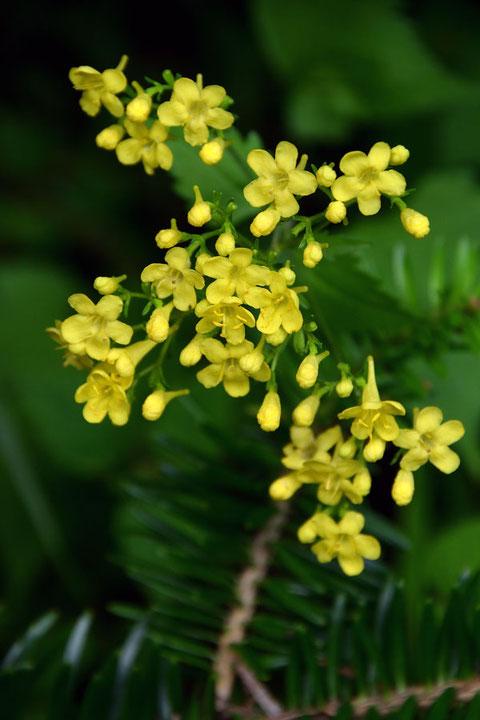 キンレイカ (金鈴花) オミナエシ科 オミナエシ属  距が長い
