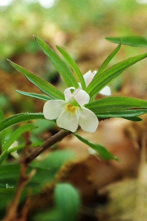 クチナシグサ  茎、葉、萼が茶褐色ではなく淡緑色のタイプ