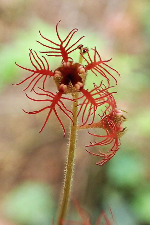 ミカワチャルメルソウの花弁は7〜11裂します