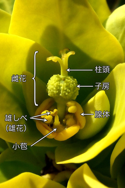 イワタイゲキに花弁や萼片はなく、雄花雌花と腺体のみ。子房外面には乳頭状突起が密生します。