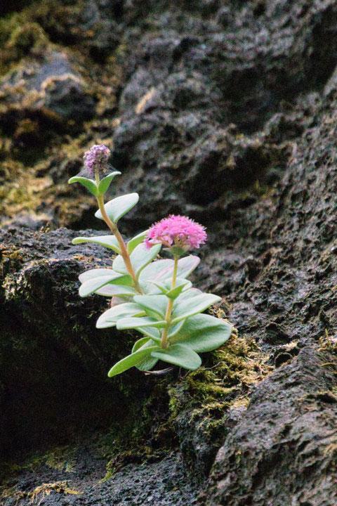 エッチュウミセバヤは崖の高い位置に咲いていたので、近づいて花の詳細を見ることは、叶わなかった
