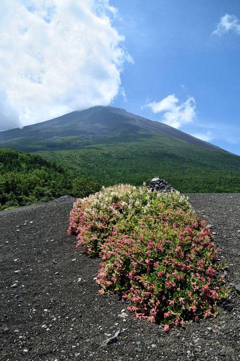 フジイタドリ 富士山を背景に