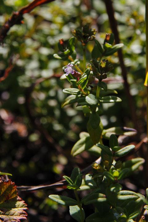 ヒメハッカの咲き残りの花が少しだけ残っていた