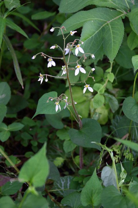 このユキノシタの花の花弁は下側2弁が幅広く、上側3弁に赤みがなかった