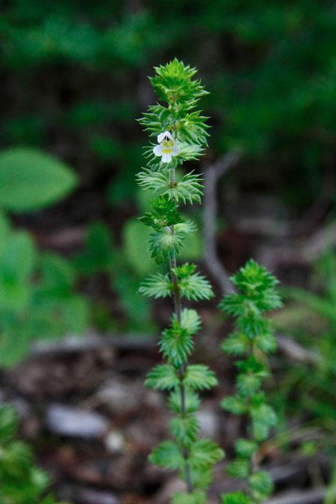 タチコゴメグサ (立小米草) ハマウツボ科 コゴメグサ属