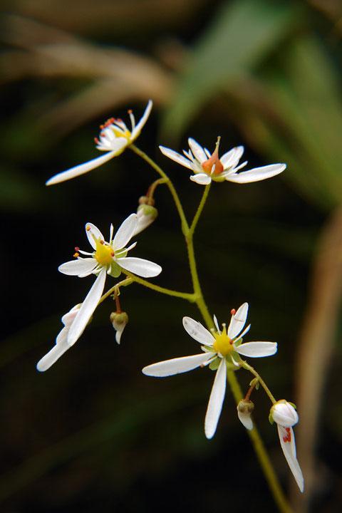 #5 ミヤマダイモンジソウの花