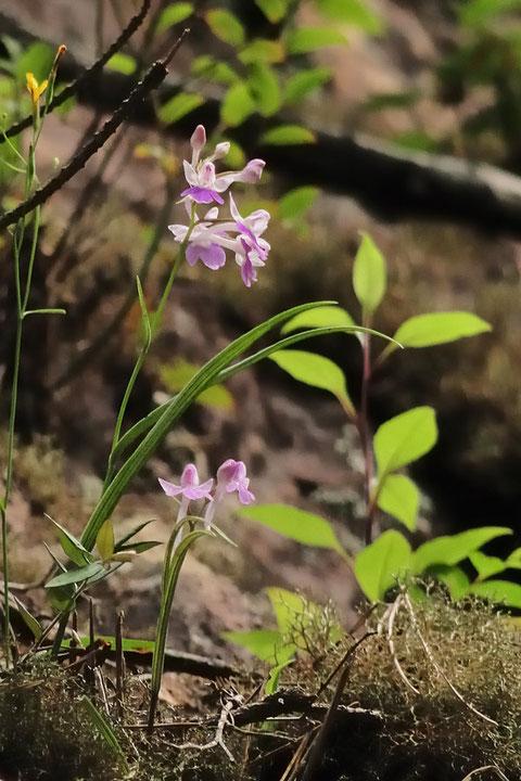 #2 岩壁に咲くウチョウラン   2013.06.30 愛知県