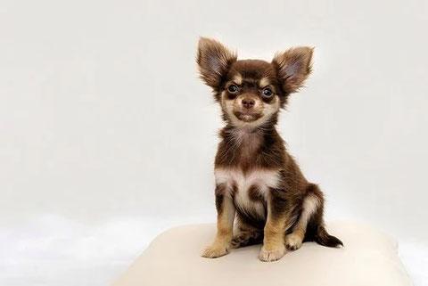 Das ist ein Chihuahua