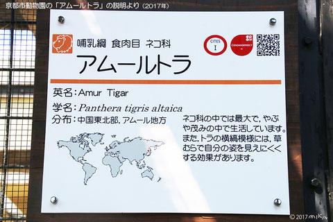 アムールトラの説明より(京都市動物園)