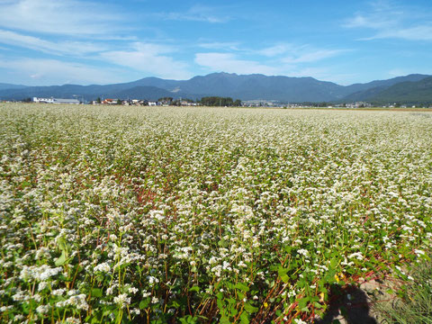 9月末の大野市の蕎麦畑。