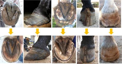 Die oberen Fotos sind vor meiner ersten Bearbeitung, die unteren ein paar Monate später. Jeweils vom selben Pferd, vom selben Huf und in einem 4-5 wöchigen Abstand bearbeitet.
