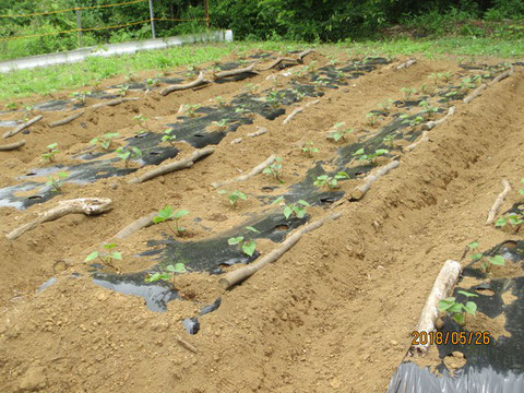 サツマイモの苗は順調に根付いたようです