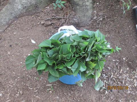 植え付けるサツマイモの苗です