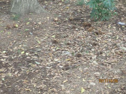 毬栗がたくさん落ちています