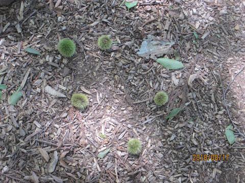 栗の毬果も沢山落ちていました