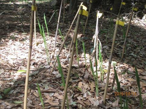 キンランの芽がこんなに伸びてきました