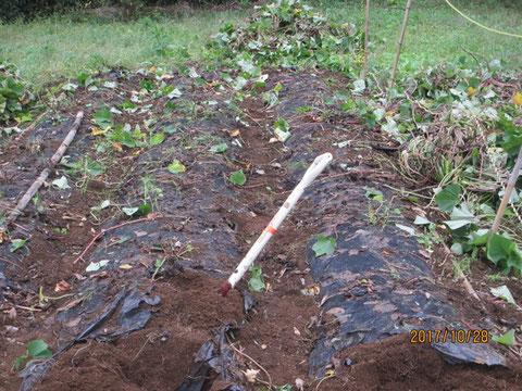 サツマイモの収穫作業が始まりました