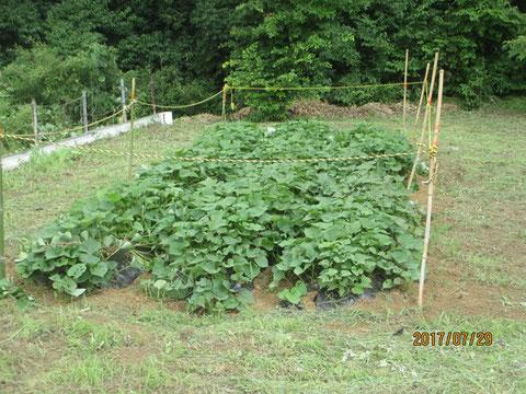 草を取り、囲いを作りました
