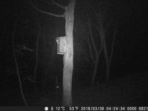 暗視カメラがとらえた巣箱にいるフクロウ