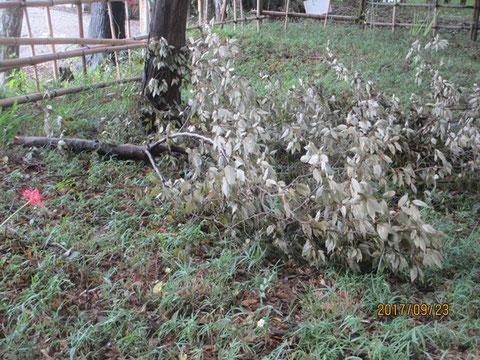 枯れた枝のかなり大きいものも落ちていました