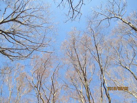 青空を見上げると、少し枝の芽が出てきているようです