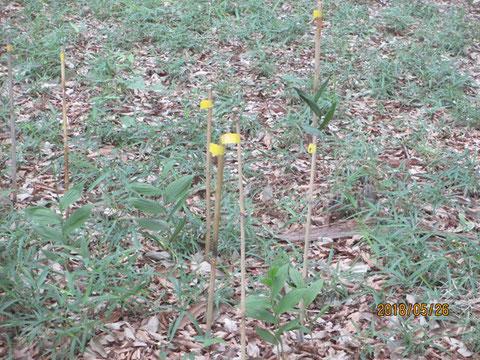黄色いビニールテープの巻いてある目印の矢竹