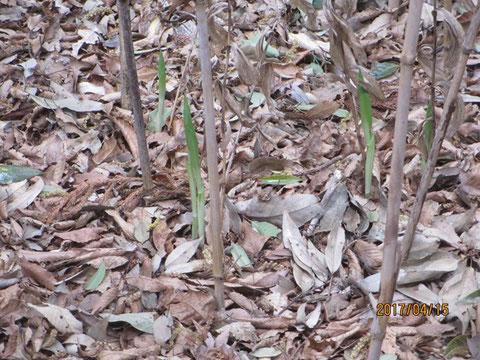 キンランの花芽が伸びてきています