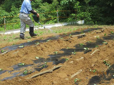 植え付けが終わり、十分に水をやっています