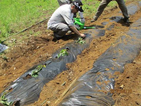 サツマイモの苗を植え付けます