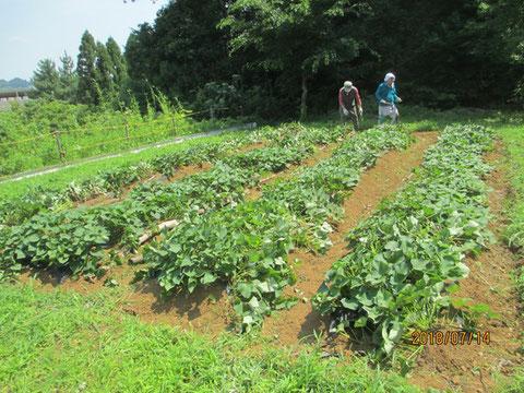 雑草が取り除かれきれいになったサツマイモ畑