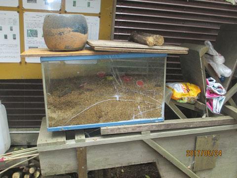 トラップに掛ったカブトムシはこの水槽にいれて飼います