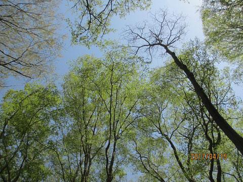 空を見上げると若葉がかなり大きくなってきています