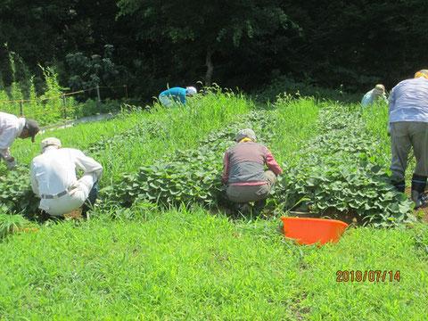 夏草が茂ってしまったサツマイモ畑の除草作業