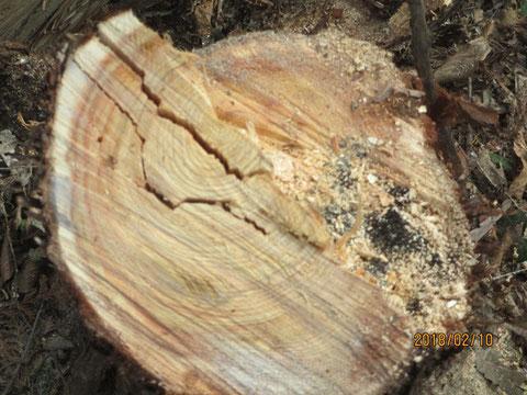 倒した木の切り株です