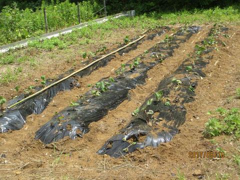サツマイモの苗は無事根付いたようです