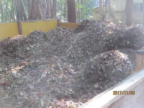 枯葉の集積場もみるみる山が出来ました