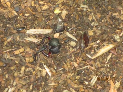 早くもカブトムシの成虫の死骸が見つかりました