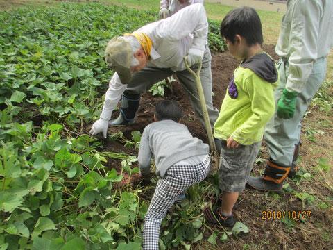 サツマイモ掘りの体験
