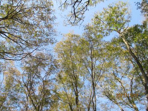 空を見上げれば、まだまだ緑の葉が残っています
