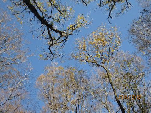 空を見上げるとほとんど葉を落とした枝ですので、空がきれいに見えます