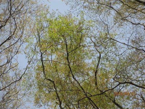空を見上げると一段と芽が伸びてきているのが実感できます
