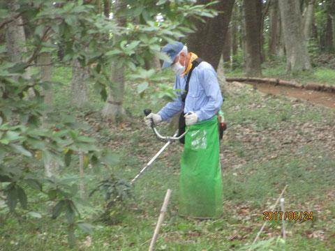 刈り払い機を使って、アズマネザサを刈り取ります